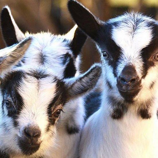 Verband Südtiroler Kleintierzüchter